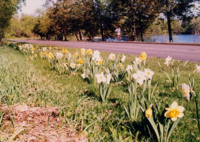 St. David's Society daffodils